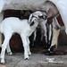Feeding its baby goat...!