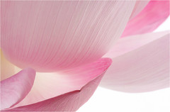 Lotus Flower petals / petal - IMG_6084-1000 (Bahman Farzad) Tags: pink flower macro yoga petals peace waterlily lotus relaxing peaceful petal meditation therapy lotusflower lotuspetal lotuspetals lotusflowerpetals lotusflowerpetal