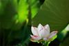 Lotus Flower - IMG_5156-1000 (Bahman Farzad) Tags: pink red flower macro yoga peace lotus relaxing peaceful meditation therapy rim lotusflower lotuspetal lotuspetals lotusflowerpetals lotusflowerpetal