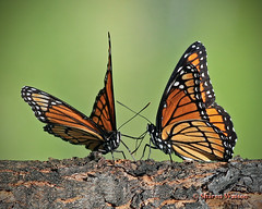 I was here first... (Sharon's Bird Photos) Tags: summer orange tree butterfly backyard viceroy sap limenitisarchippus