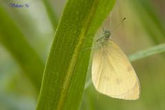 Pieride (Voltaire96) Tags: macro fauna animale farfalla insetto pieride