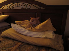 Pillow Mint (trike) Tags: chihuahua canon pillow spartacus g11