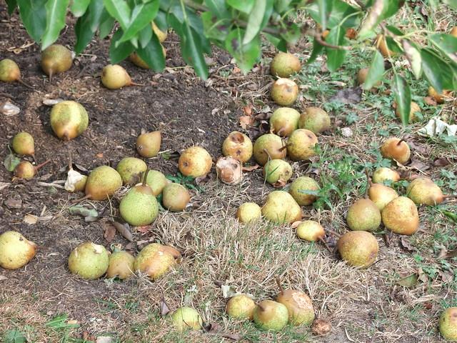 lincs pears windfall