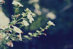 30.365 (emsbems94) Tags: flowers white macro green leaves photography focus bokeh emma johnson picnik pixlr canoneosrebelxsi