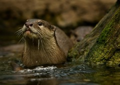 Oriental small-clawed otter (Blitzknips) Tags: animal otter tier fischotter specanimal specanimalphotooftheday