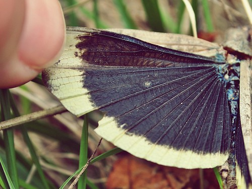 the grasshopper wing