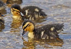 A sight for sore eyes (janjansfotos) Tags: summer nature water smile birds outdoors happy countryside nikon young fluffy ducklings chicks splash waterdrops soe waterbirds waterlife d5000 160811 2011chicks harroldandodellcp