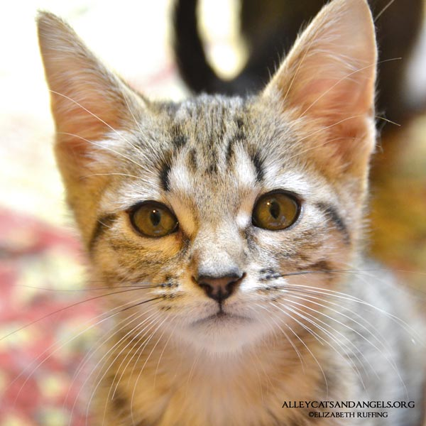 Morticia by Elizabeth Ruffing, adoptable kitten, Alley Cats and Angels of NC rescue