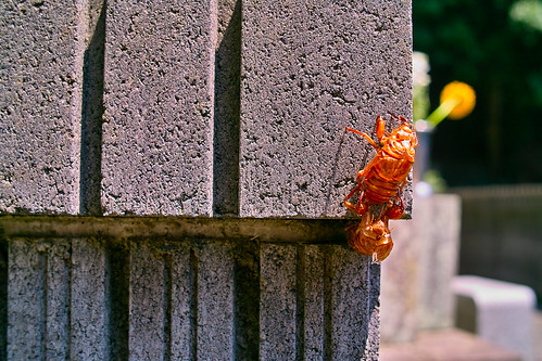 Husk of a cicada by RioLaaa