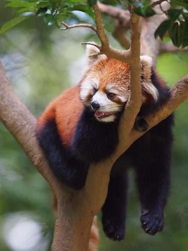 多摩動物公園 レッサーパンダ