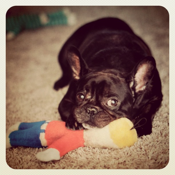 Oh Noooooooo!  Mr. Bill takes his last breath... again. And LeRoy uses his lifeless body as a pillow. #frenchbulldog #Frenchie