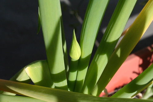 bolting green onion