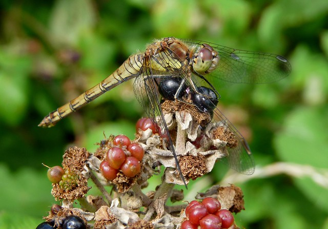 24805 - Female Common Darter, Llanelli WWT
