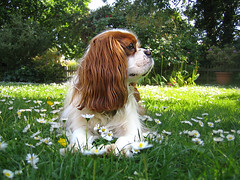 Dougal and the Daisies (Alan By The Sea) Tags: dog daisies canon garden sunny ixus spaniel cavalier ixus40 cavalierkingcharles blenhiem img1880a2