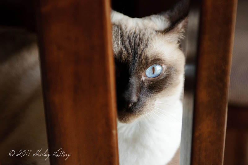 Got My Eye On You Siamese cat