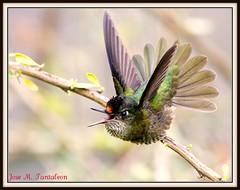"""2-El demonito mas chismoso de Chile!! Podria el maestro Sergio Bitran,un excelente fotografo Chileno y a quien apodan """"el mago de los colibries""""explicar"""