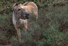 ::. delicious .:: (MWD-Pictura) Tags: strand fuerteventura kanaren urlaub esel busch dornen jandia morrojable kanarischeinseln d80