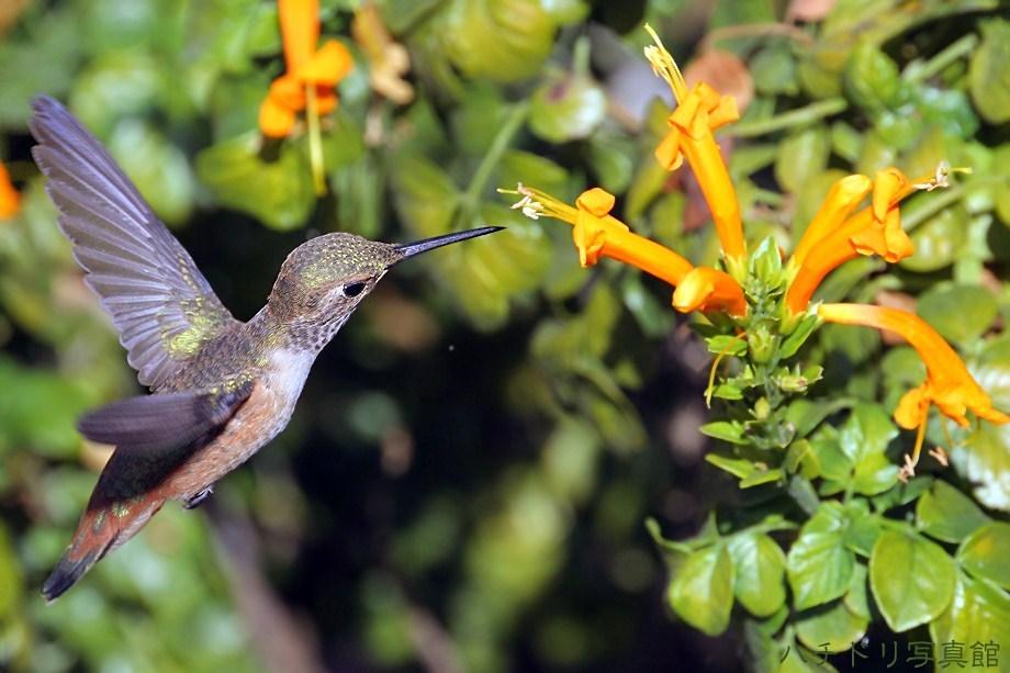 Allen's Hummingbird 082411-2