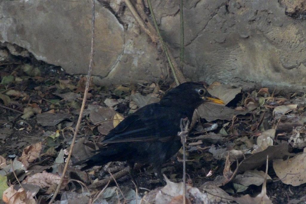 20-08-2011-blackbird