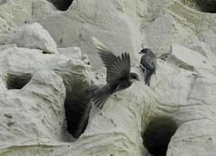 Uferschwalben, NGID1939598804 (naturgucker.de) Tags: deutschland mecklenburgvorpommern ripariariparia rgen uferschwalbe naturguckerde carmindreisbach ngid1939598804
