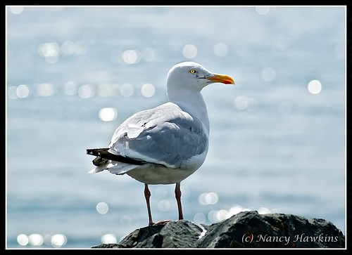Gull by Nancy Hawkins
