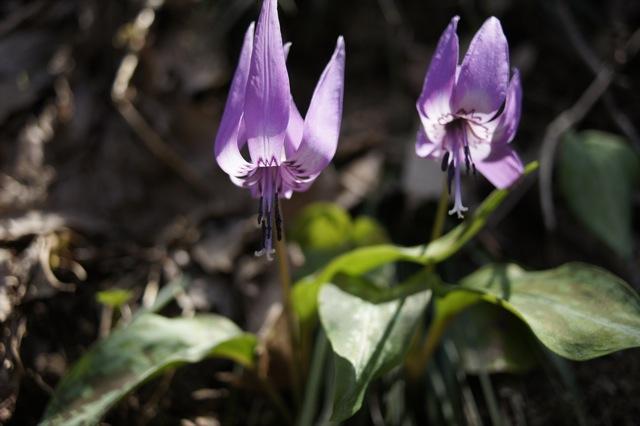 春はひと足ずつ カタクリの群生地その3
