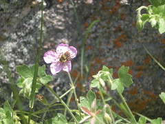 Wildflower and Bee at Avalon Crag