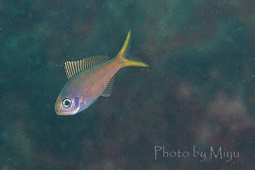 ウメイロモドキの幼魚