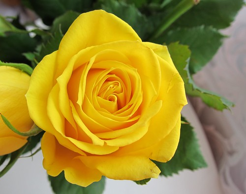 a yellow rose by Anna Amnell