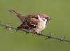 Bird on a Wire (Andrew Haynes Wildlife Images) Tags: bird nature wildlife treesparrow rspb bemptoncliffs canon7d ajh2008