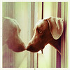 watching squirrels (saikiishiki) Tags: dog reflection love glass nose looking watching profile weimaraner blinds touching weim mukha thelittledoglaughed