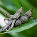 Kissing Grasshoppers