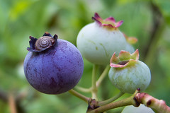 unexpected visitor (salceson) Tags: macro fruit july snail samsung poland blueberry ex1