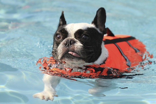 French Bulldog Chikuwa swimming