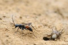 Spider wasp and prey (Lamia textor) Tags: macro insect spider nikon wasp solitary vr 105mm hymenoptera pompilidae
