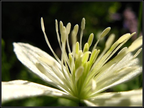 IMG_2399 Clematis in the Limelight 8-17-11