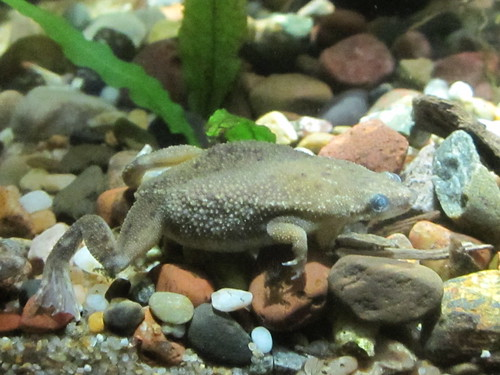 Water Toad