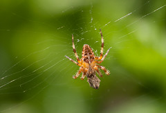 A Spider's Supper (spliceruk) Tags: garden spider spidersweb spiderinweb