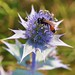 Sand Digger Wasp on Sea Holly Eryngium maritimum Sandwich Bay