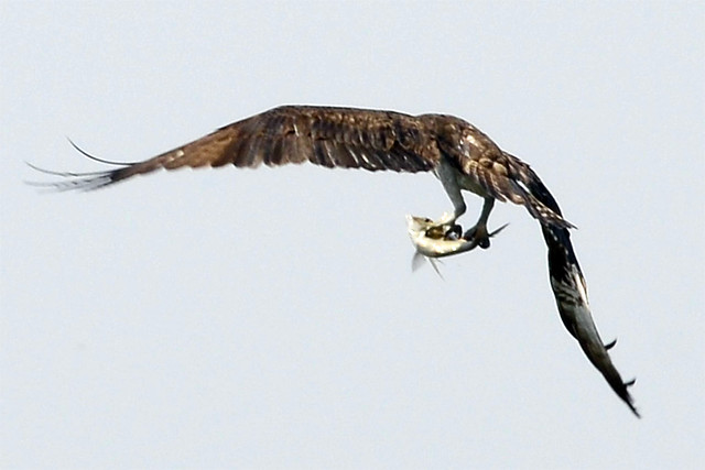 osprey catching fish seven