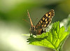 Speckled Wood (Mr Grimesdale) Tags: butterfly speckledwood speckledwoodbutterfly stevewallace britishbutterflies mrgrimesdale