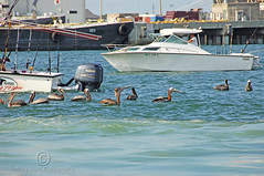 Pelicans Play at Port Canaveral (thejeffreywscott) Tags: pelicans birds boats waterfront florida pelican portcanaveral