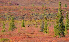 Landscape - Autumn in Denali - Alaska (blmiers2) Tags: travel autumn trees red orange color green fall nature beautiful yellow alaska landscape landscapes nikon autumncolors photograph denali caribou d3100 blm18 blmiers2