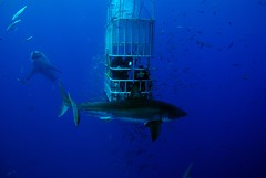 DSC_0401 (DiLyBe) Tags: white mexico island shark explorer great scuba diving cage guadalupe isla nautilus