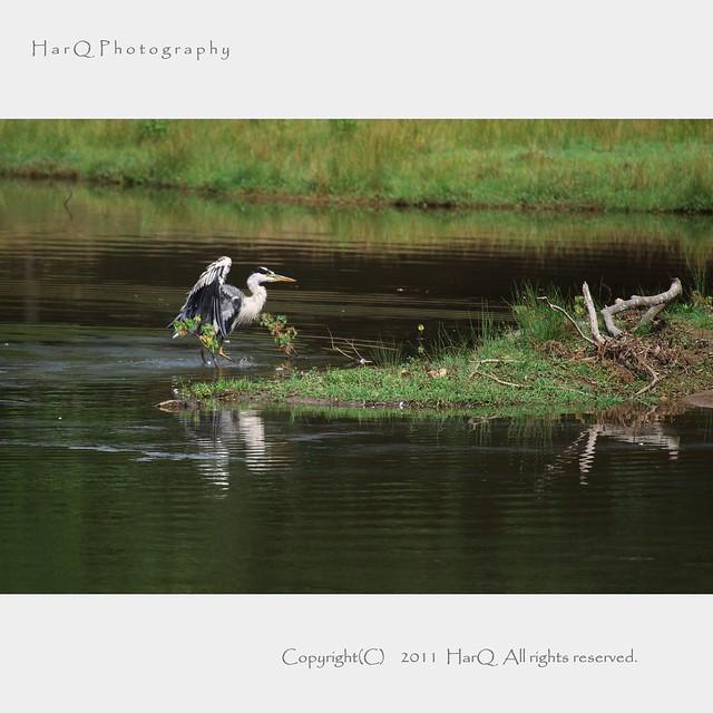 Blue heron *