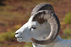Dall Sheep in Denali - Animal - Wildlife - Alaska (blmiers2) Tags: travel nature beautiful animal animals alaska nikon bokeh wildlife denalinationalpark dallsheep d3100 blm18 blmiers2