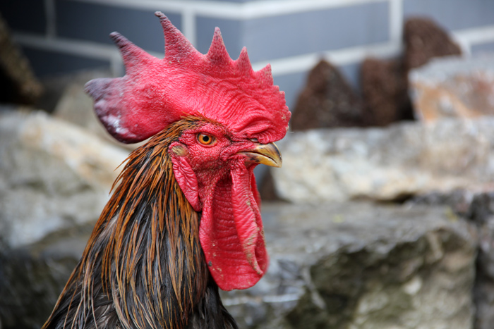 Big Rooster Comb