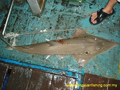 P6150235 (fymac@live.com) Tags: mackerel fishing pancing angling tenggiri sarawaktourism sarawakfishing malaysiafishing borneotour malaysiaangling