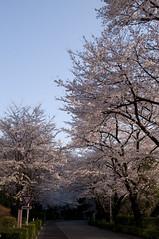 Cherry (yuichi.sakuraba) Tags: flowers flower cherry tokyo evening scenery blossom dusk shibuya  cherryblossom    nightfall earlyevening  someiyoshino       nationalolympicsmemorialyouthcenter
