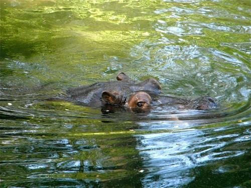 nijlpaard Hippo enzo
